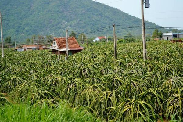 A dragonfruit farm.