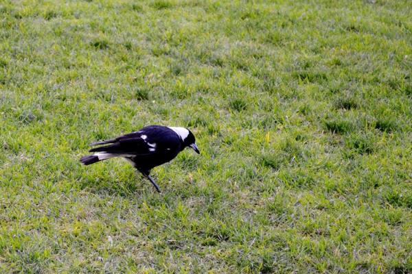An Australian Magpie!