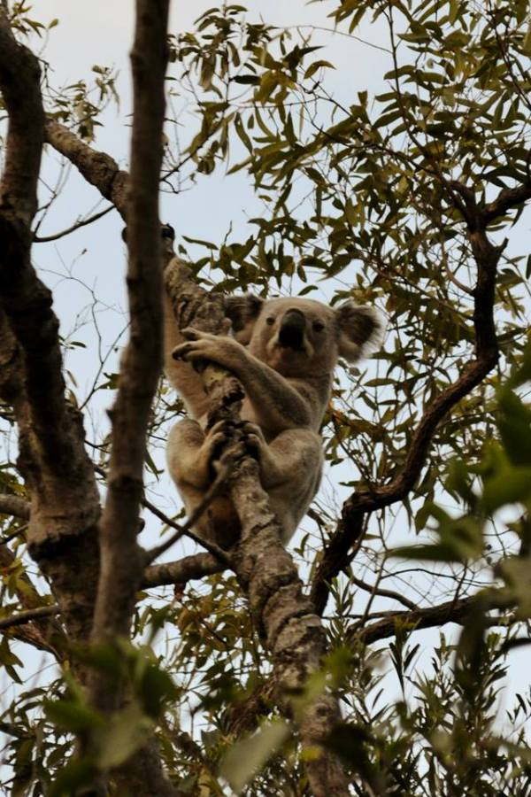 Wild koala on Magnetic Island!